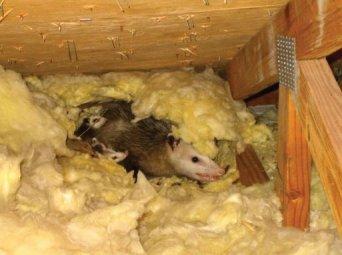 Opposum family nest in an attic