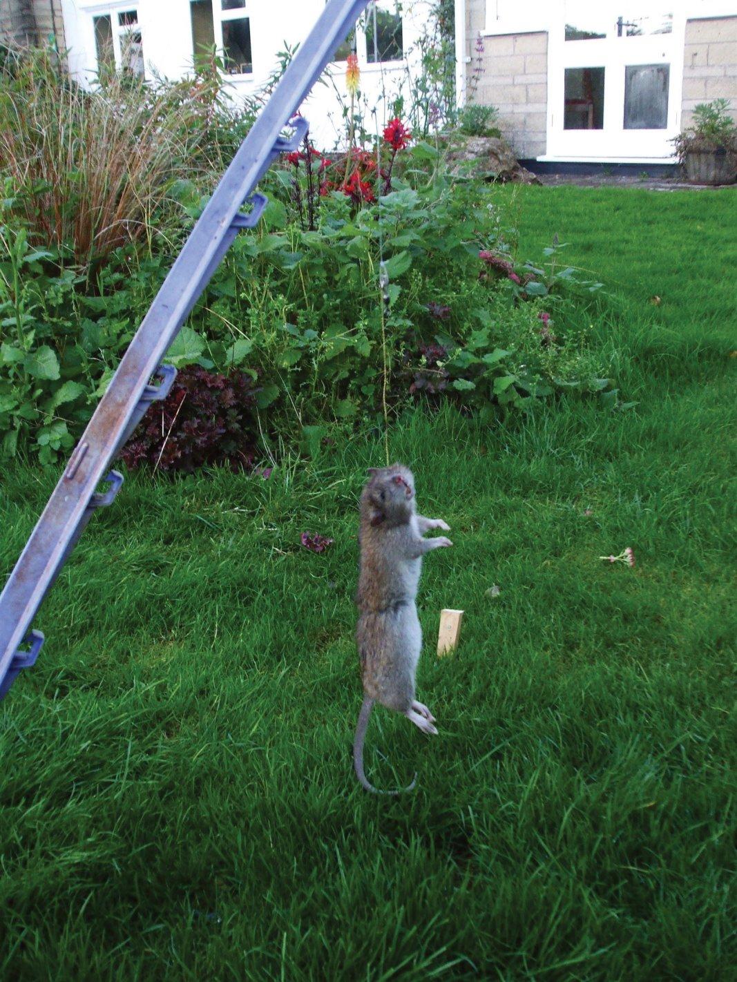 Snared rat