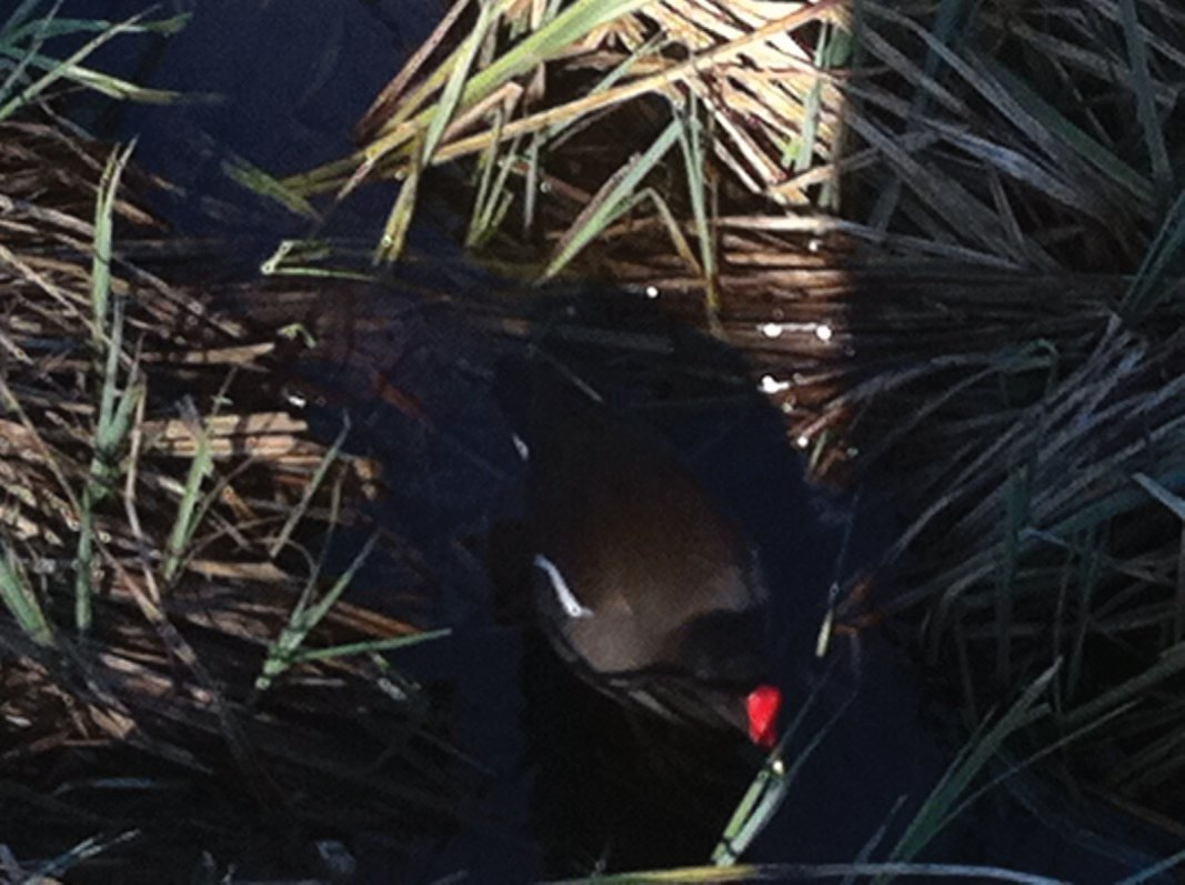 A Moorhen wading through the reeds at Forth Quarter wildlife reserve and public park, Edinburgh