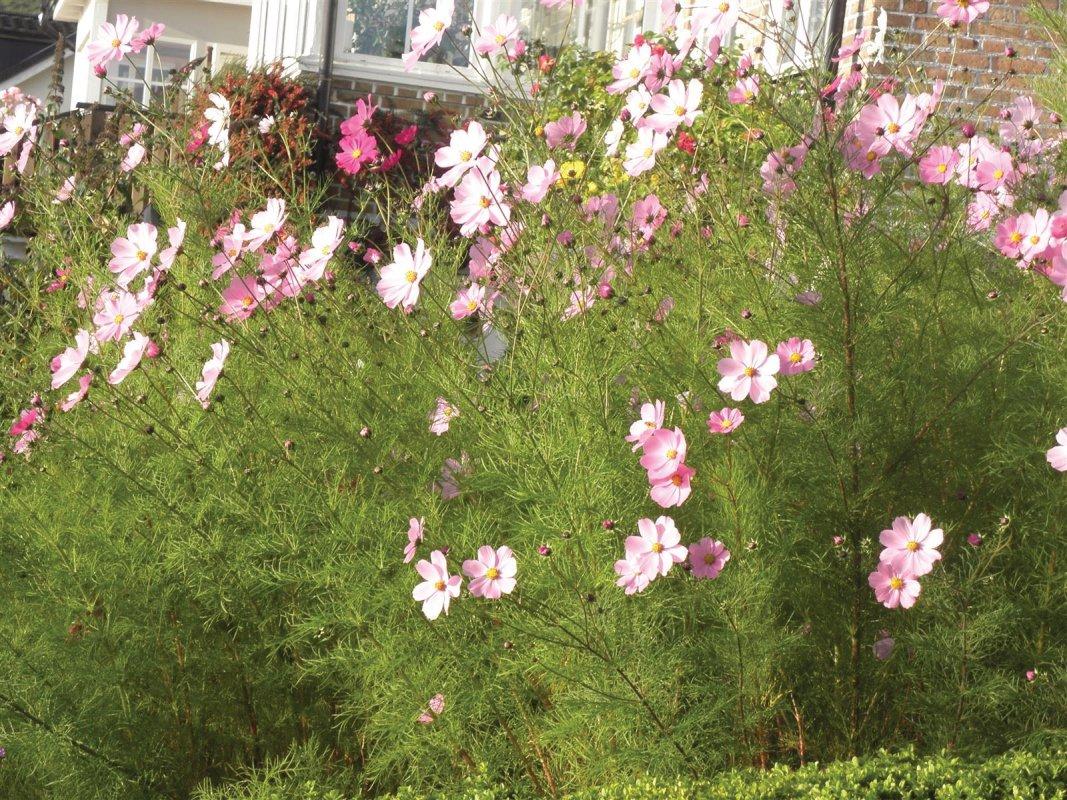 Underbara Rosenskäran blommar äntligen......