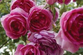 IMMOVERT - Conseils jardins - L'utilisation des rosiers