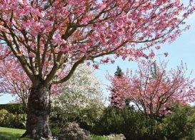 IMMOVERT - Cerisier à fleurs - Prunus serrulata