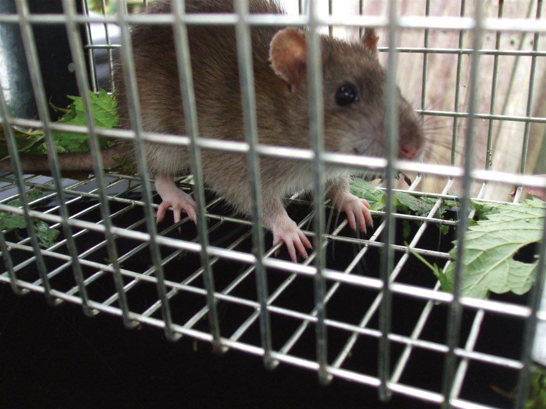 Rat in trap, Radstock