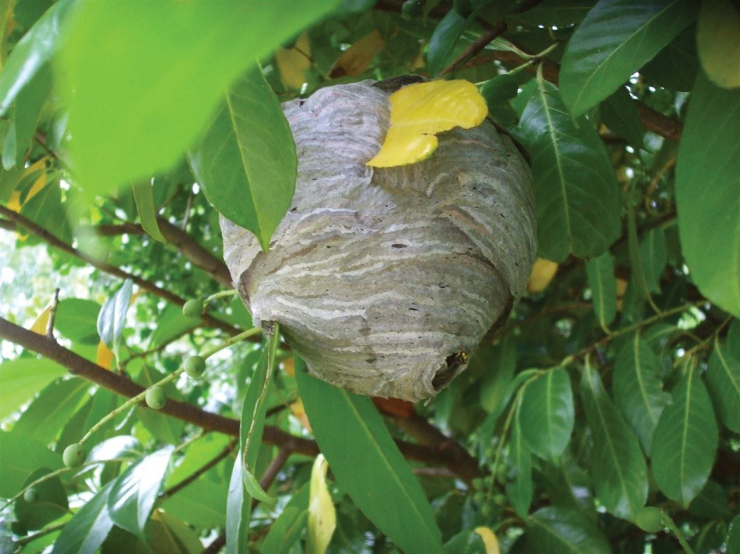 Wasp nest, Wells, treated by Barron Pest Control