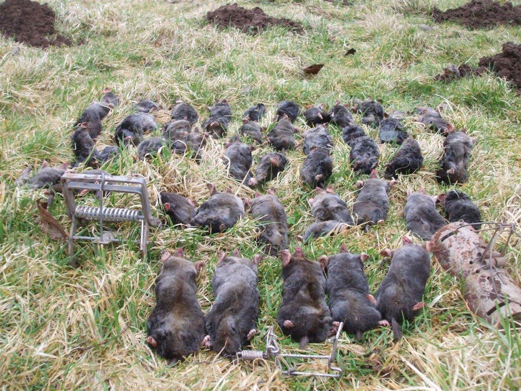 Moles taken locally from farmland near Bath