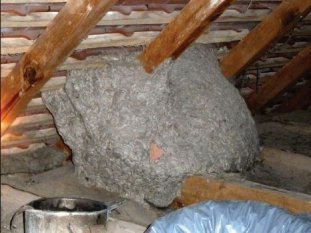 Hornet nest in the roof of an attic