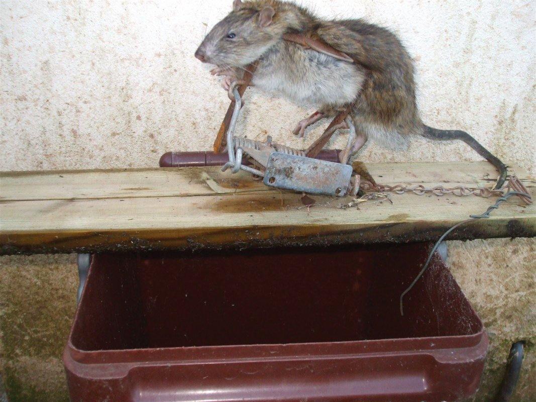 Rat & Recycling Bin