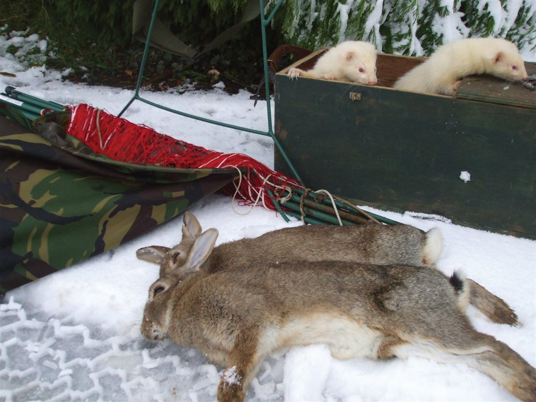 Ferrets, rabbits and