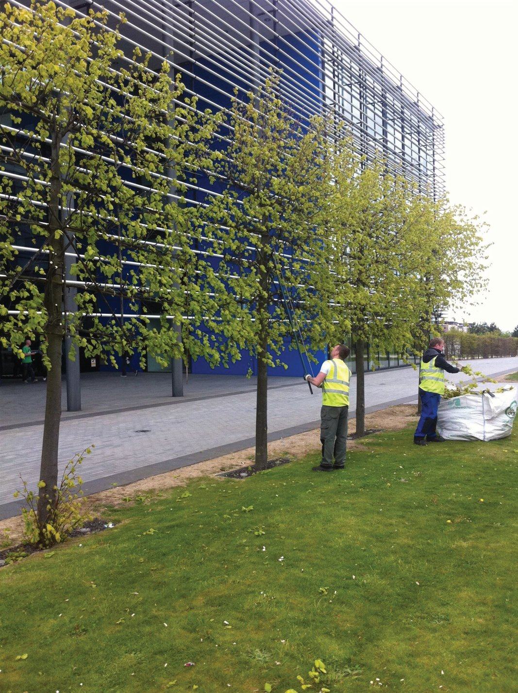 Tree maintenance and pruning of pleached Limes in Edinburgh, Midlothian, East Lothian, Fife and the Scottish Borders regions