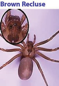 Treat Brown Recluse Spider Bites Naturally