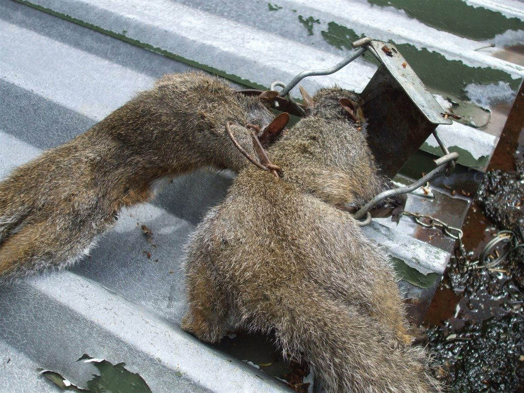 2 for the price of 1. A pair of squirrels caught in a Fenn trap which was set in