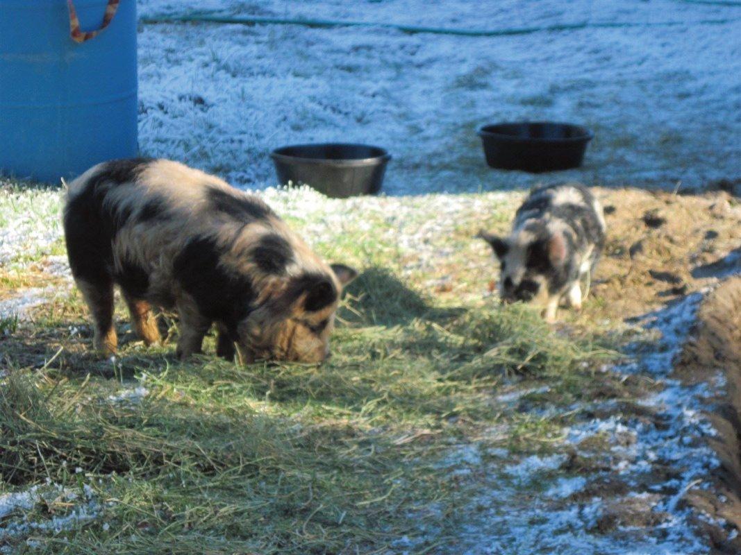 Beeps (older boar) and Howie (baby boar)