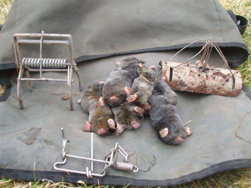 Talpex trap on left, Duffus trap on right, Trapline trap in front, Mendip moles - middle.