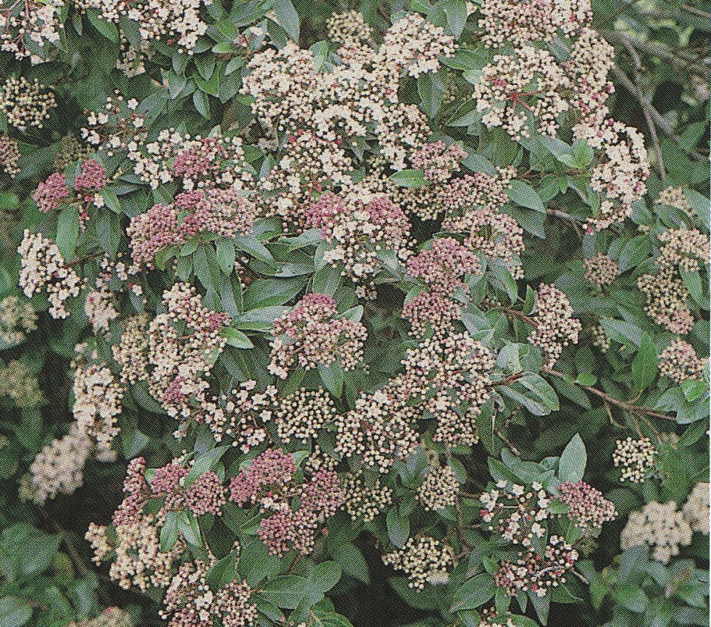 IMMOVERT - Viburnum tinus eve price - Laurier tin