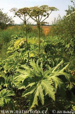 Giant Hogweed a prime example