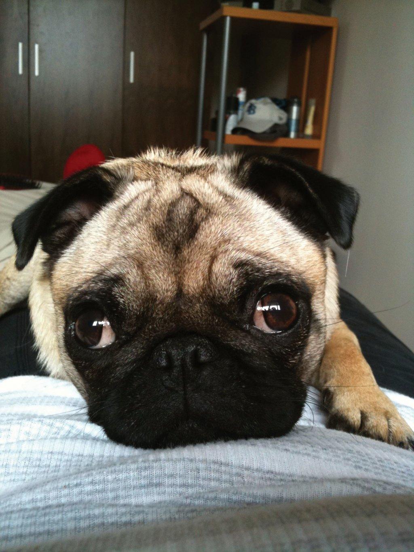 Phoebe the Pug