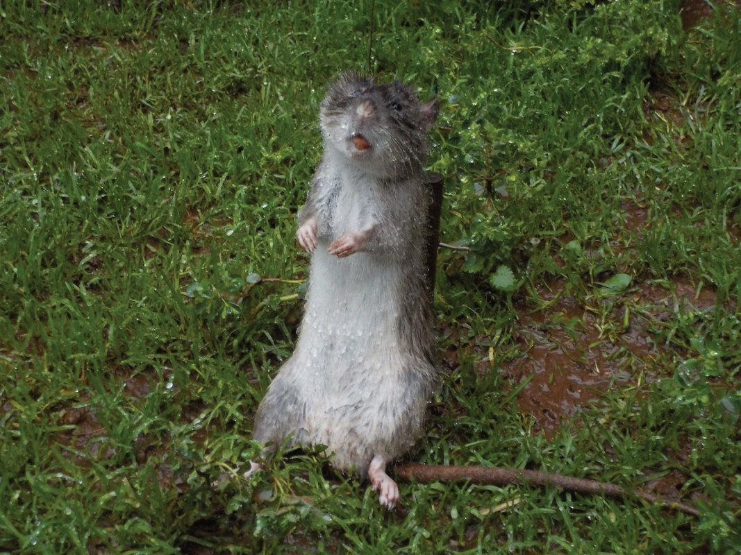 Snare caught rat Stratton on the Fosse