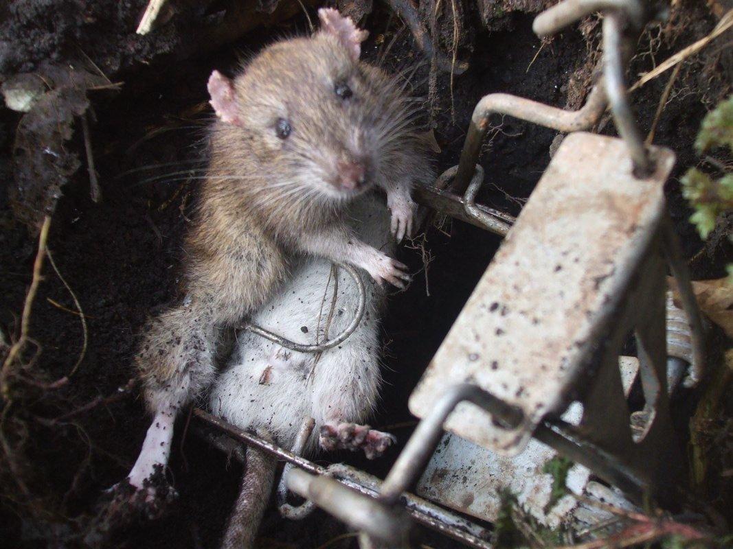 Rat in a rabbit burrow, fields near Bath