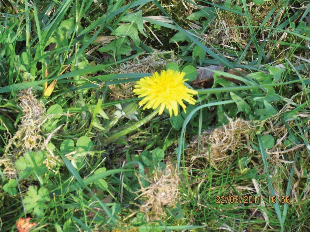 IMMOVERT - Pissenlit dans une pelouse