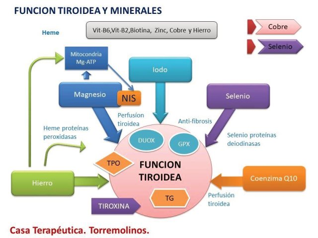 Mg-ATP: magnesio ATP, NIS: transportador yodo y sodio, TPO: peroxidasa tiroidea, DUOX: oxidasas duales, GPX: glutatión peroxidasas, Tg: tiroglobulina.