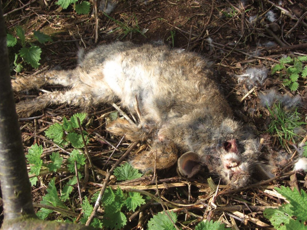 Dead rabbits litter the countryside during a myxomatosis outbreak.