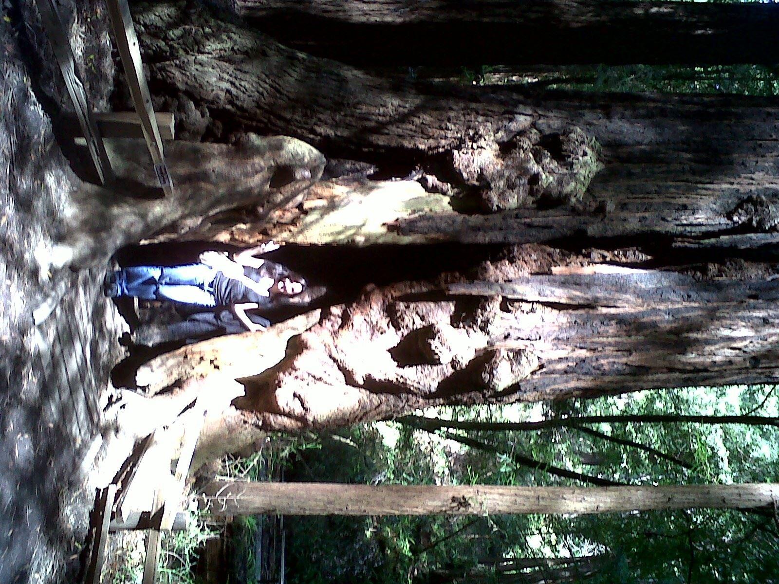 Inside a Redwood in Muir Woods : Redwood in Muir Woods