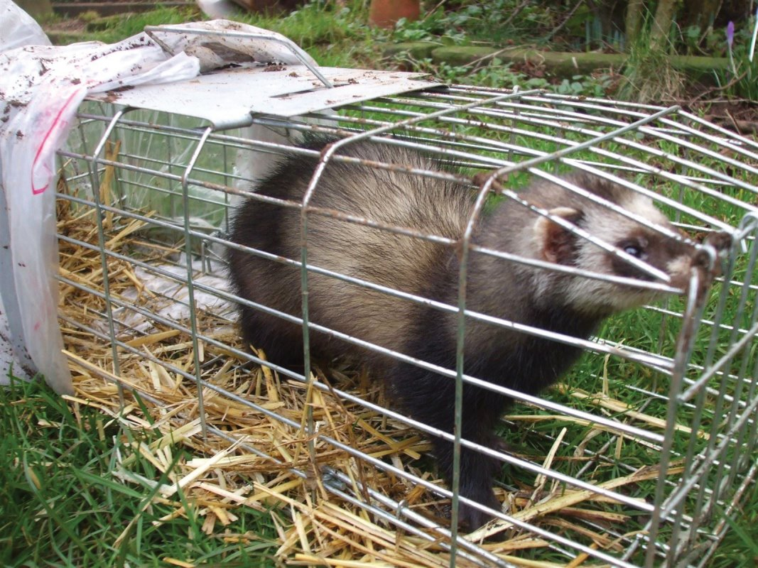 Jenny the Jill polecat ferret who went AWOL for the week end.
