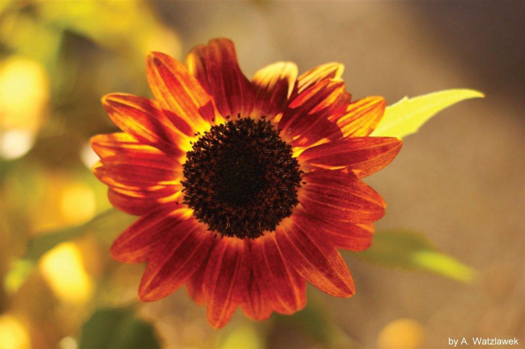 Sonnenblume in der Sonne