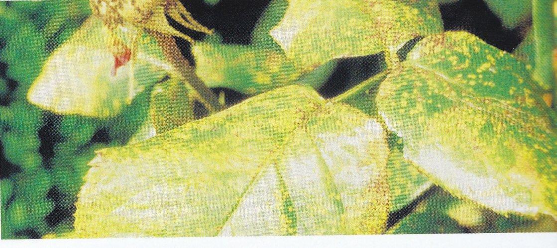 IMMOVERT - La rouille du rosier