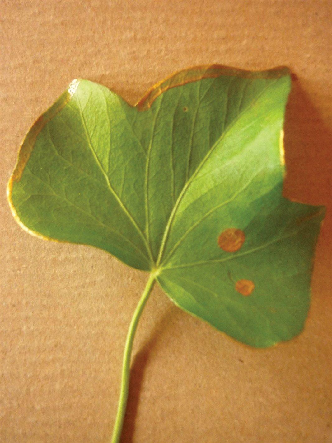 Pflanzensymbol in der Kunsttherapie: Efeu