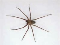 Get Rid of Brown Recluse Spiders Naturally