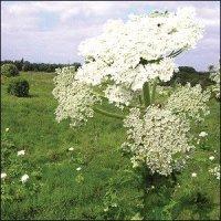 Giant Hogweed control and eradication in Edinburgh Midlothian, East Lothian, Fife and the Scottish Borders regions