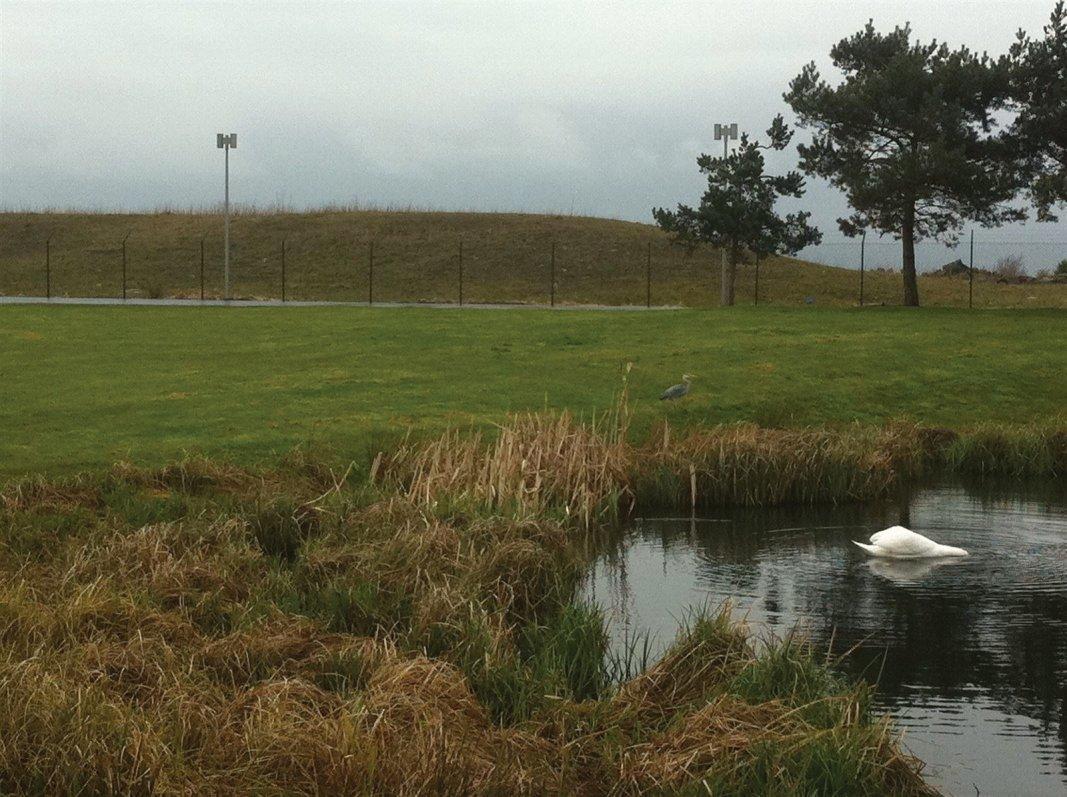 The resident Swans of Forth Quarter wildlife reserve and public park, Edinburgh