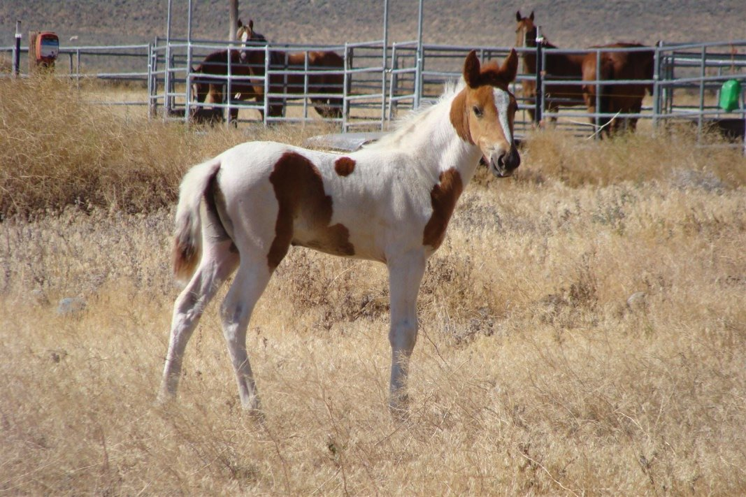 Copyright Janette Dean Wild Mustang Colt July 2012 Stagecoach, NV