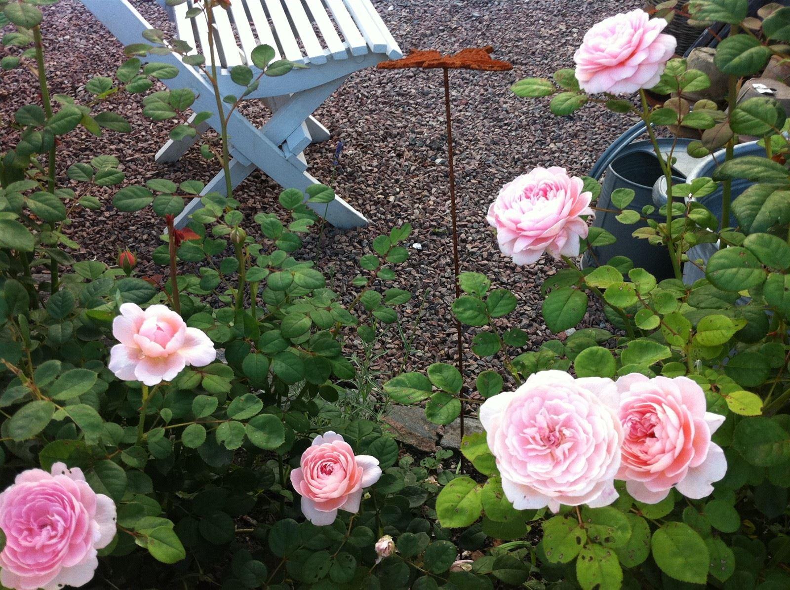 Queen of Sweden - sötaste rosen : Underbart att få blommning nr 2 i augusti