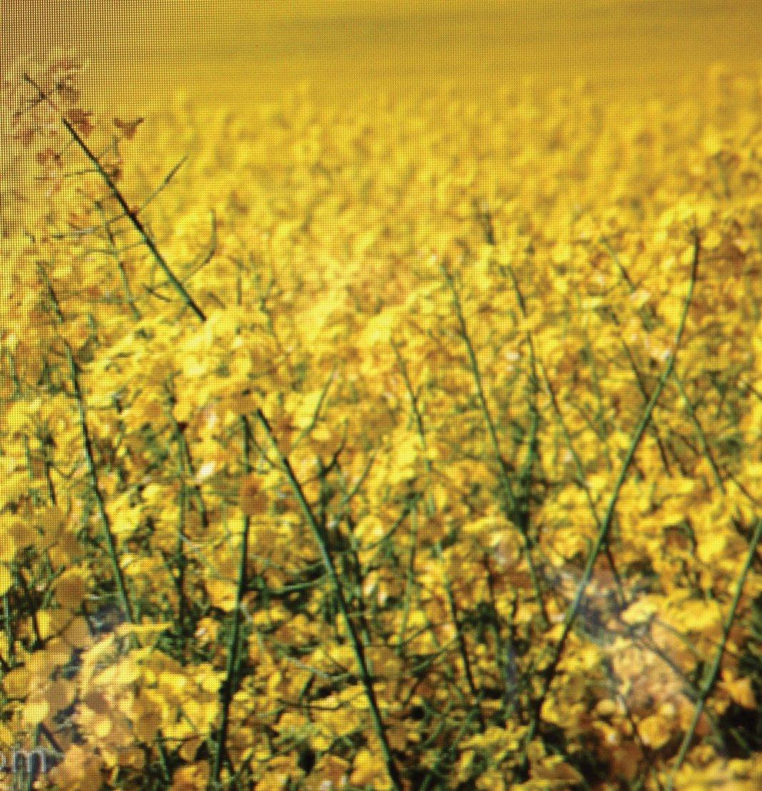 The Canola Oil Flower