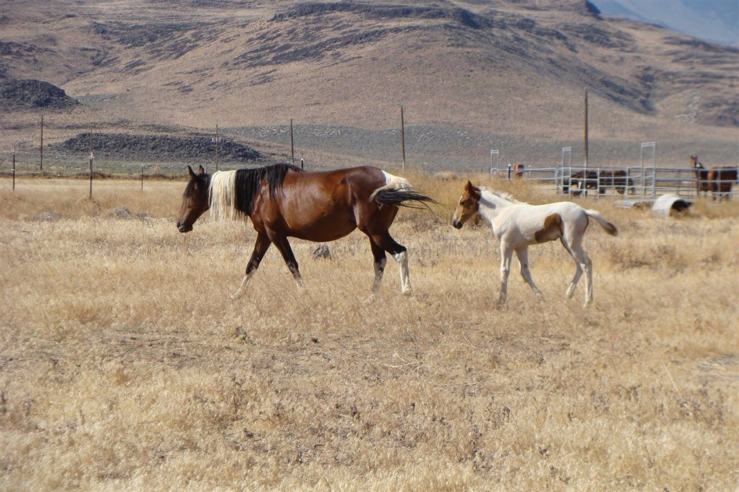 Copyright Janette Dean - Wild Mustang Mom with Her Colt - July 2012 - Stagecoach, NV