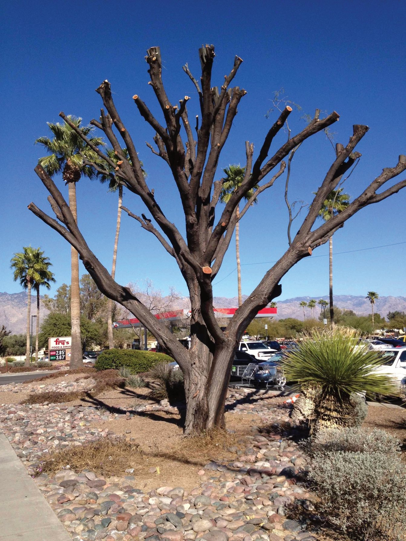 Is your Mesquite or Acacia dying from Borer's?
