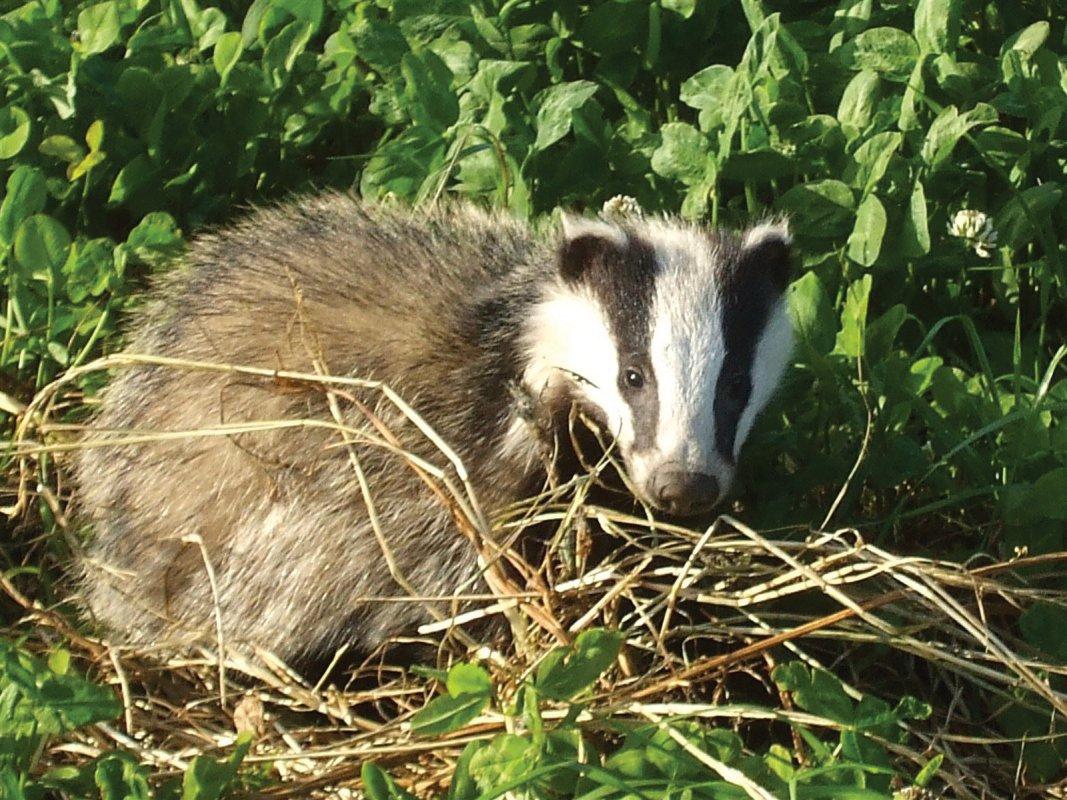 Somerset Badger