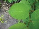 Japanese Knotweed, call us for a site survey and quotation for control of this dangerous, destructive and invasive weed