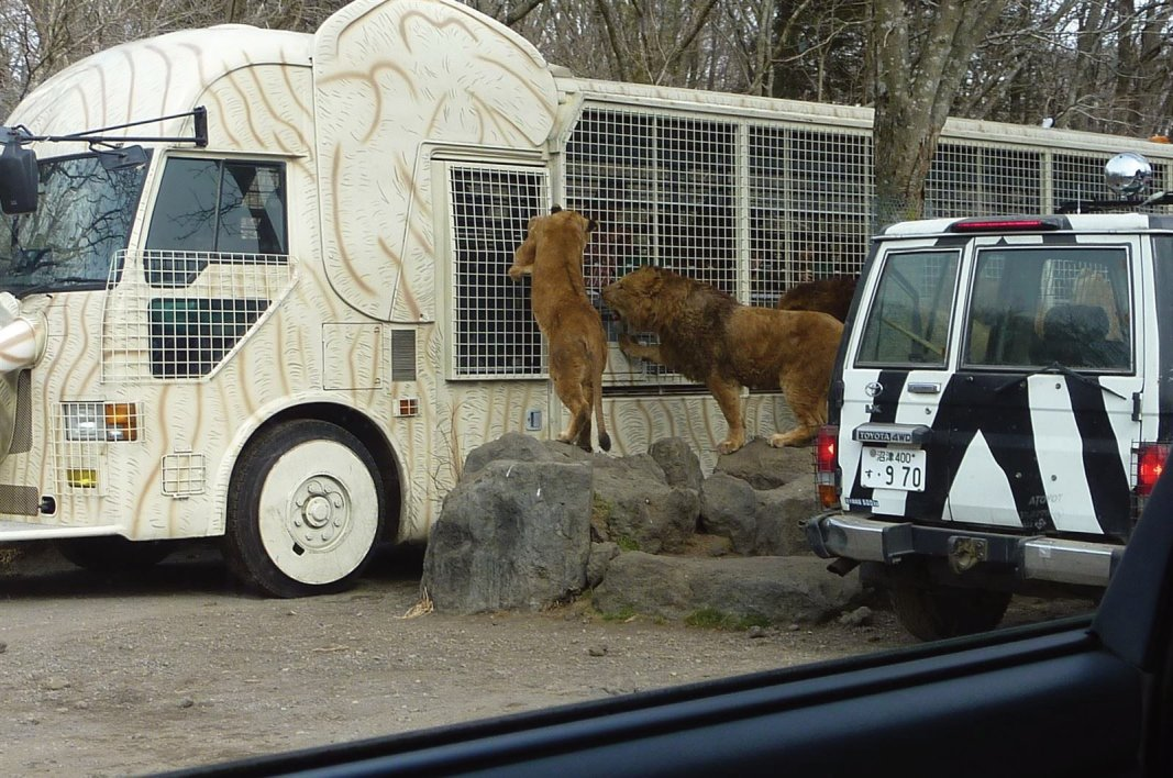 ライオンが、動物園を見に来たと言っても過言ではなさそうです。