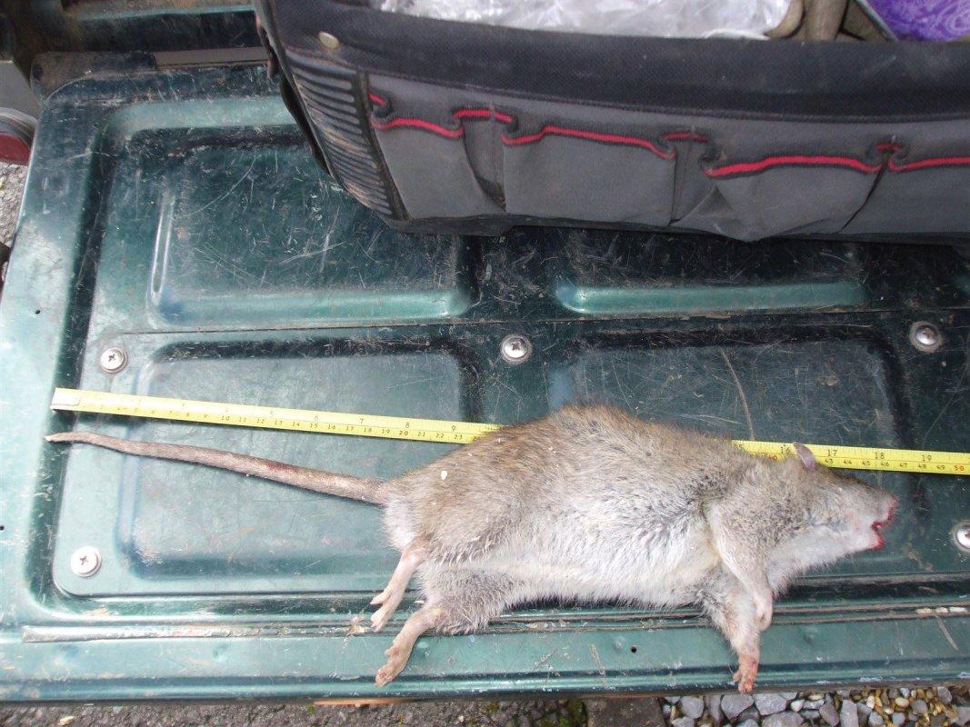 Giant Rat in Somerset