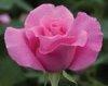 IMMOVERT - Les conseils jardins - L'utilisation des rosiers
