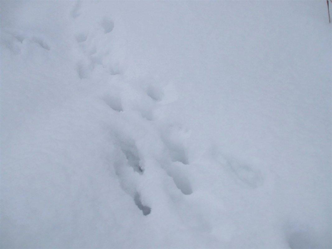 Rabbit tracks in the snow.