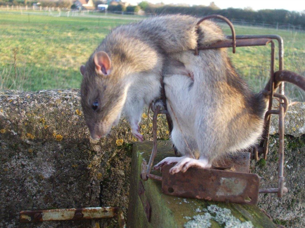 Rat in a Fenn trap, Stratton on the Fosse