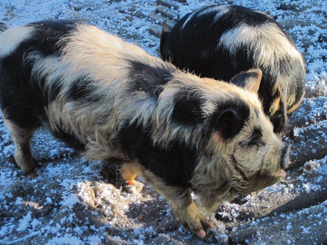 Beeps-Our older boar