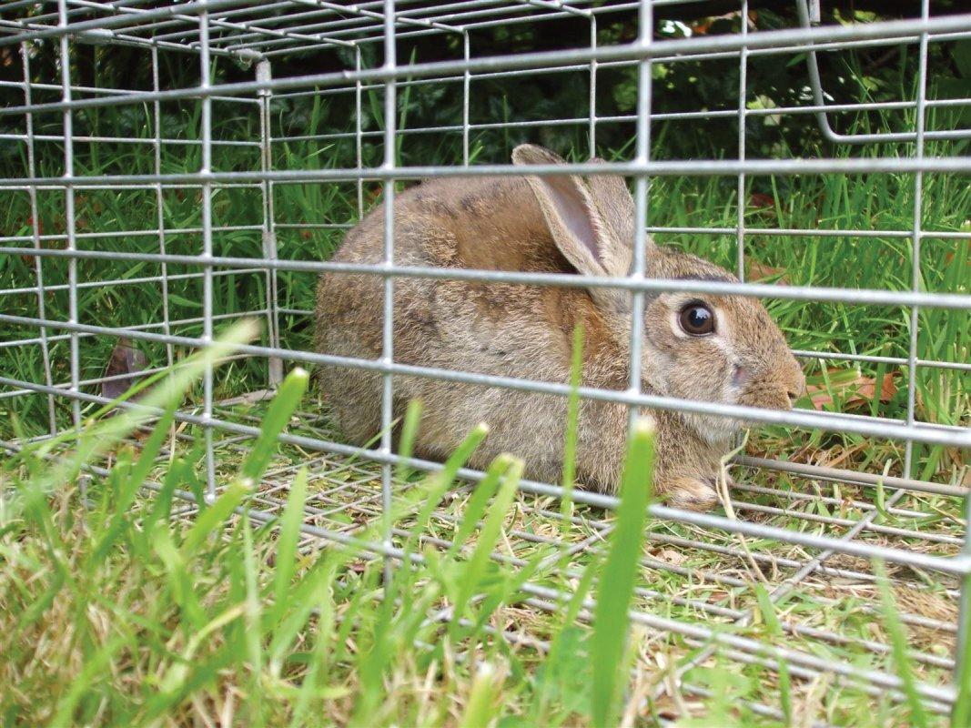A cage trapped rabbit, garden near Bath.