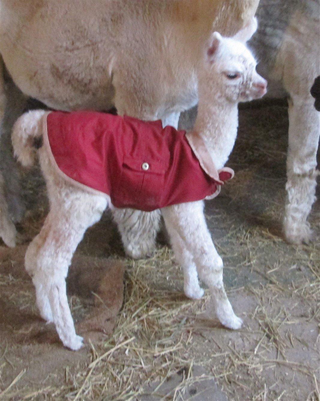 Baby alpaca cria coat