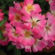 IMMOVERT - Plantation de rosiers