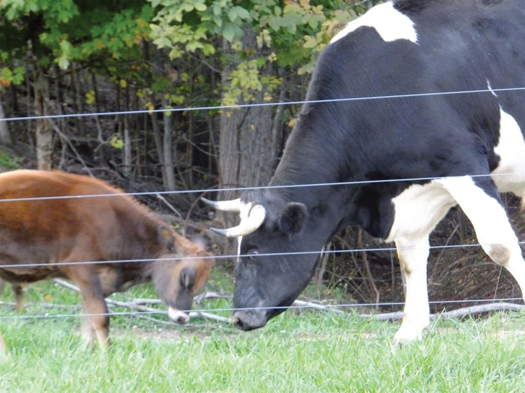 Holstein and Peanut our baby jersy calf